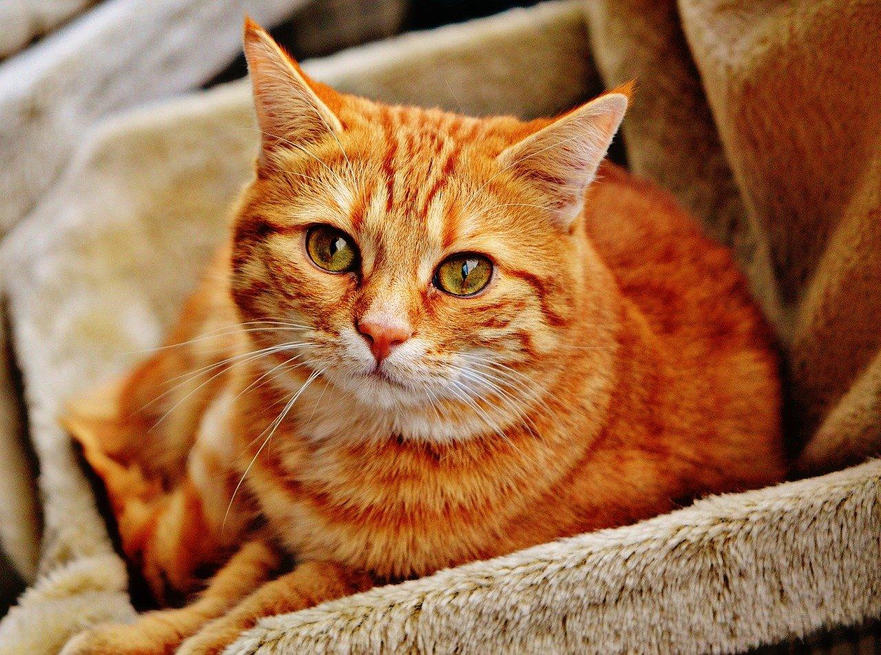 cat, red, mackerel